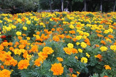 【恋です!】ロケ地|マリーゴールド公園は東京ドイツ村!